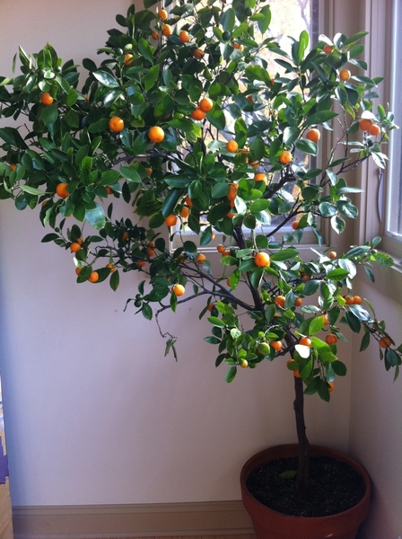 Most of my non-hardy plants r in for winter. I love having this Calamundin orange inside.Ready 2 make marmalade.
