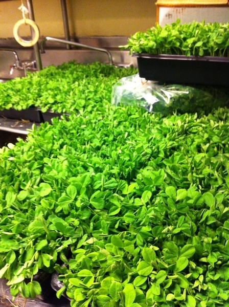One of my favorite moments in Frontera kitchen: arrival of 3 Sisters Garden pea shoots.