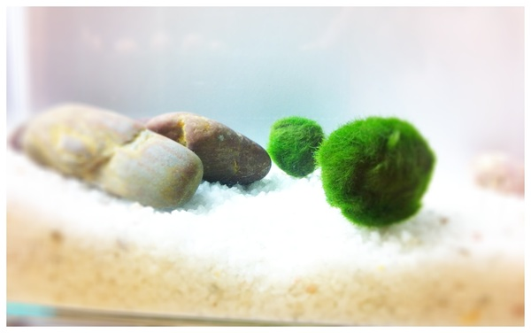 Bro bought a Beat by Dr. Dre headphone; Mom bought a Nikon DSLR.. I don't care, I want a giant Marimo moss ball today.