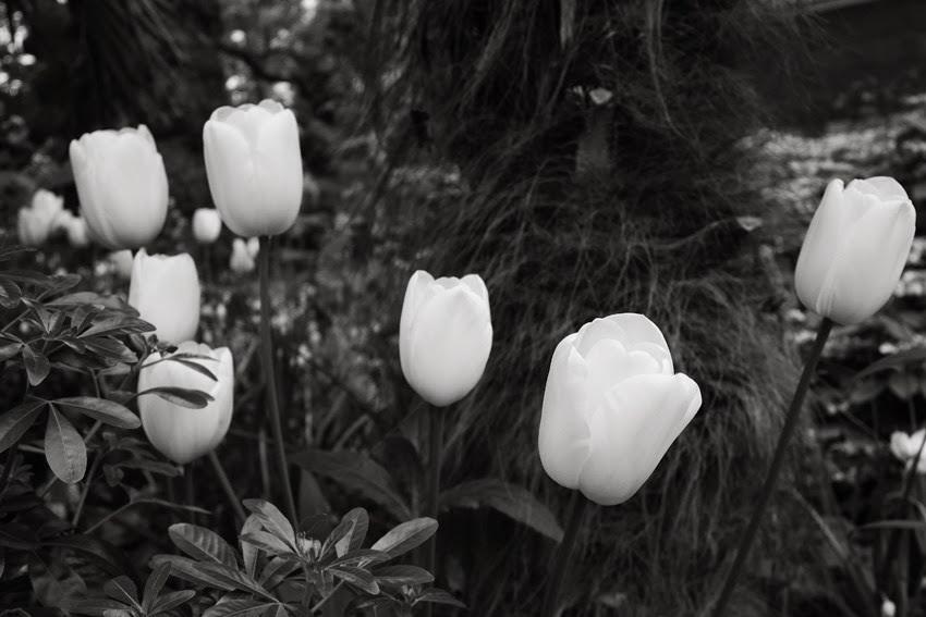tulpen #artis