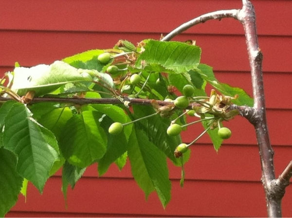 My cherry tree is making cherries & I only planted them last year!