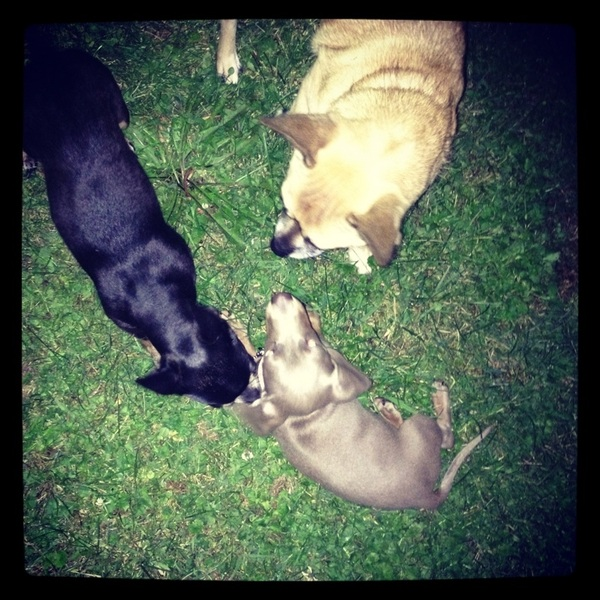 Chuy and Abbey playing with their new puppy friend, Lily :) (not mine)
