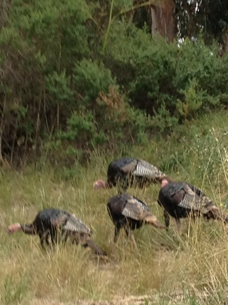 Wild turkeys at the Bruns this a.m., excited for the final weekend of SPUNK