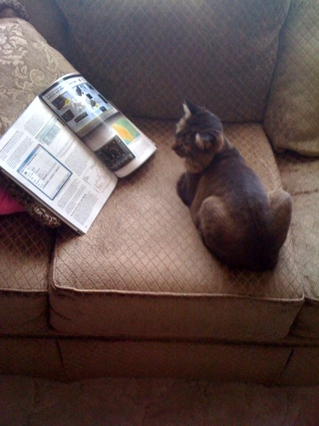 Pic of me reading a magazine whilst showing off my summer cut! @jazzydacat @SidTheCatahoula @Herbie_Cat
