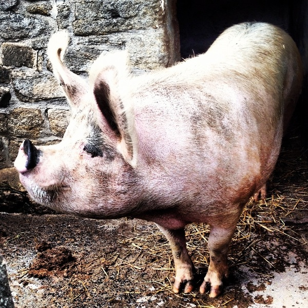 Today&#039;s horse photo is a pig. A very pretty pig.