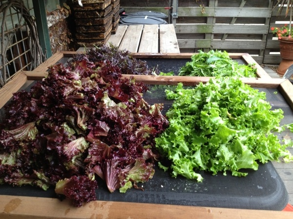 Harvesting beautiful salad greens from the production garden at my house!