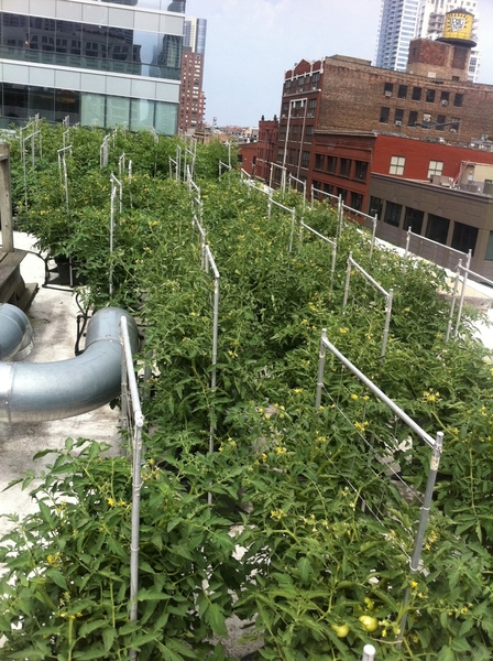 Even in heat r 85 rooftop Earthboxes of tomatoes/chiles r thriving: hope to beat lst yr&#039;s record 1000# harvest!