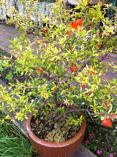My garden pics: my dwarf pomegranate is full of little fruits. 8 years old!