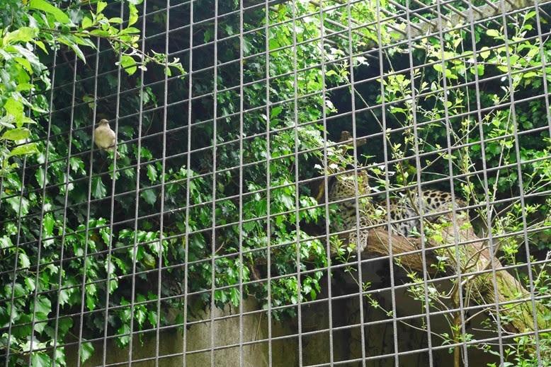 vogeltje en jaguar #artis